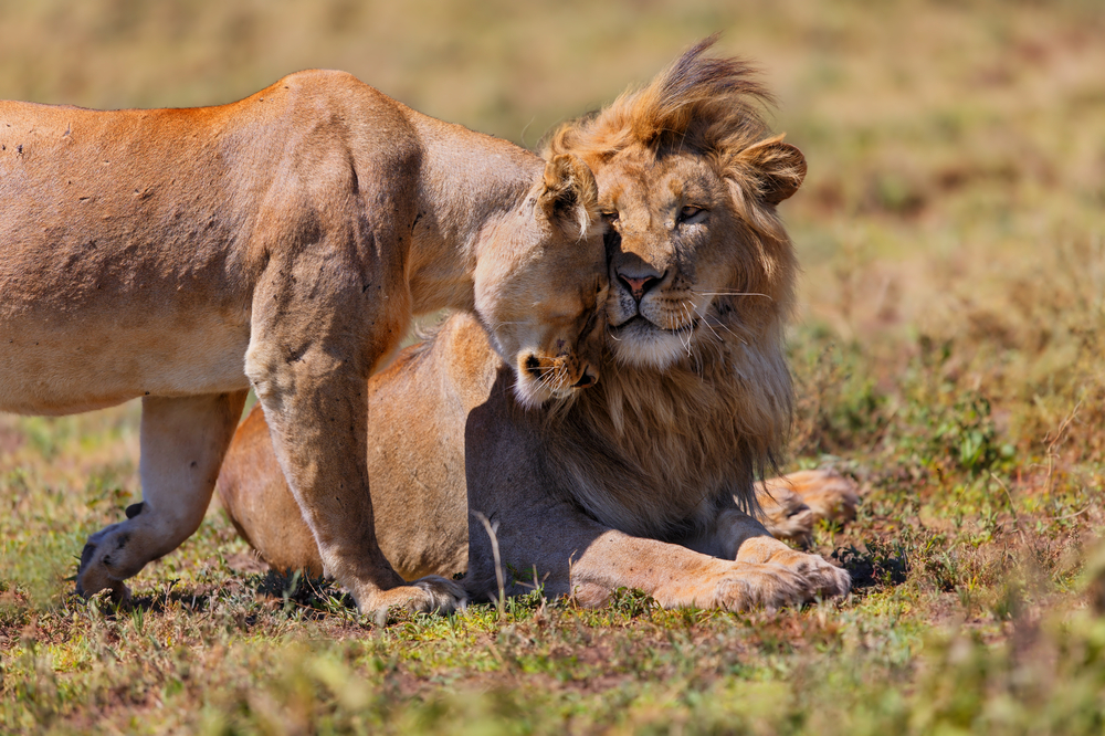 lions_featured